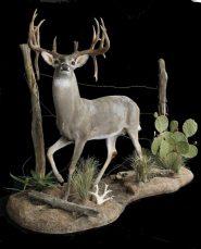 Deer, Whitetail